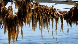 Las algas marinas cosechadas en húmedo tienen una vida útil muy corta. Por lo tanto, debe ser usada bastante rápido. Foto: Catrinus van der Veen