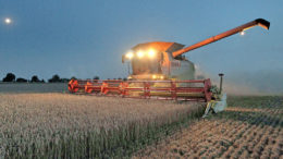 La disminución de la relación entre las existencias y el uso de los cereales se debe principalmente a que el mundo consume mucho maíz. Foto: AFP