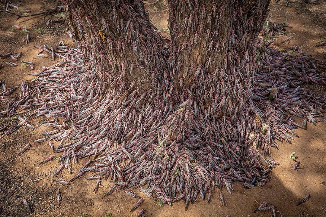 Las langostas tienen un gran potencial como alimento para animales y son virtualmente libres. Foto: FAO
