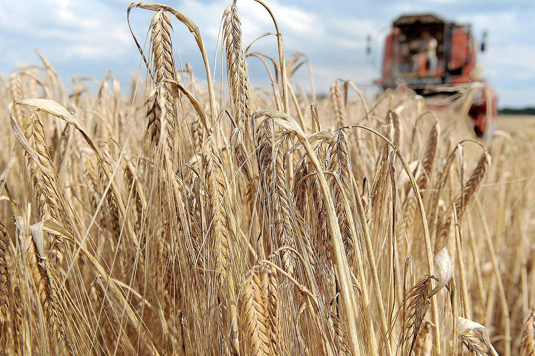 La Organización Mundial de la Alimentación (FAO) prevé que la cosecha de trigo será 7,4 millones de toneladas superior al consumo. Foto: EPA
