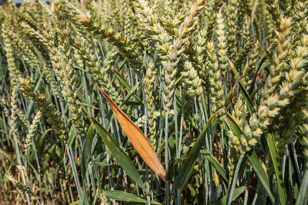 El trigo está bajo presión inmediata esta semana, ya que el primer suministro de la nueva cosecha está en marcha en el hemisferio norte. Foto: Herbert Wiggerman