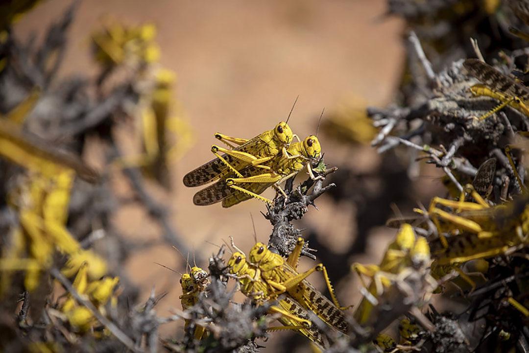 La langosta del desierto es considerada la plaga migratoria más destructiva del mundo. Un pequeño enjambre que cubre 1 kilómetro cuadrado puede comer la misma cantidad de comida en 1 día que 35.000 personas. Foto: FAO/Sven Torfinn