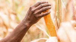 Sudáfrica produjo su segunda cosecha de maíz más alta registrada en el año 2019/20 MY. Foto: Junior Aklei Chaky