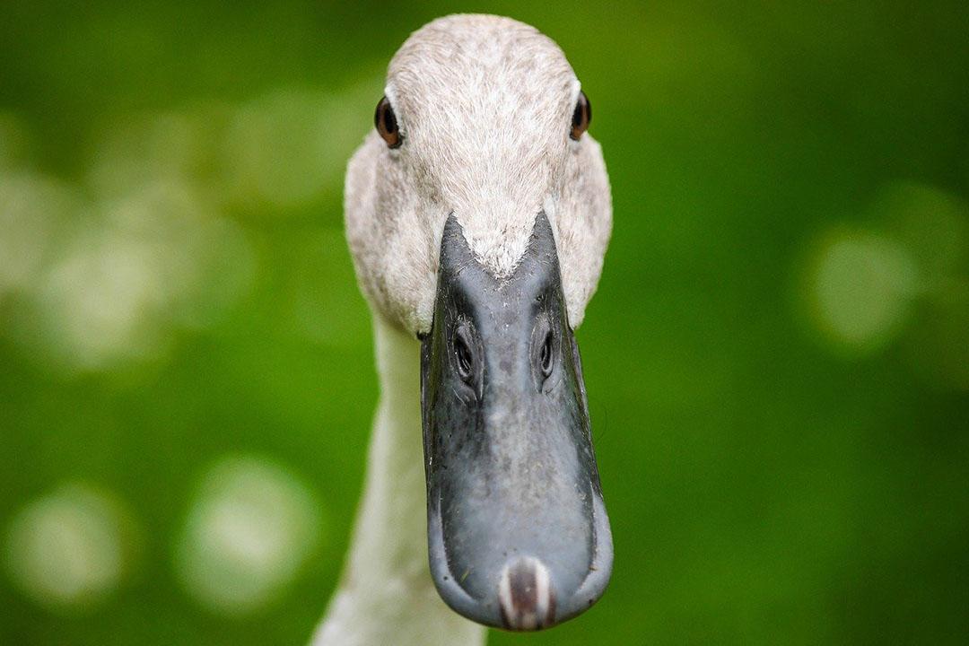 Sólo un pato puede comer más de 200 langostas al día. Foto: Dighini