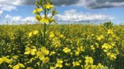 El uso de la harina de colza como ingrediente de alto contenido proteico ha aumentado en muchos países. Foto: Consejo de Colza de Canadá