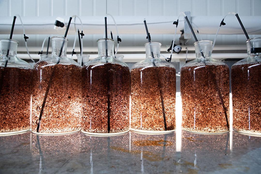 En el ensayo se utilizará Asparagopsis, un alga marina que se cultiva naturalmente en Australia y Nueva Zelandia, como alimento complementario para los rebaños de Tasmania durante la próxima temporada lechera. Foto: Bosque marino