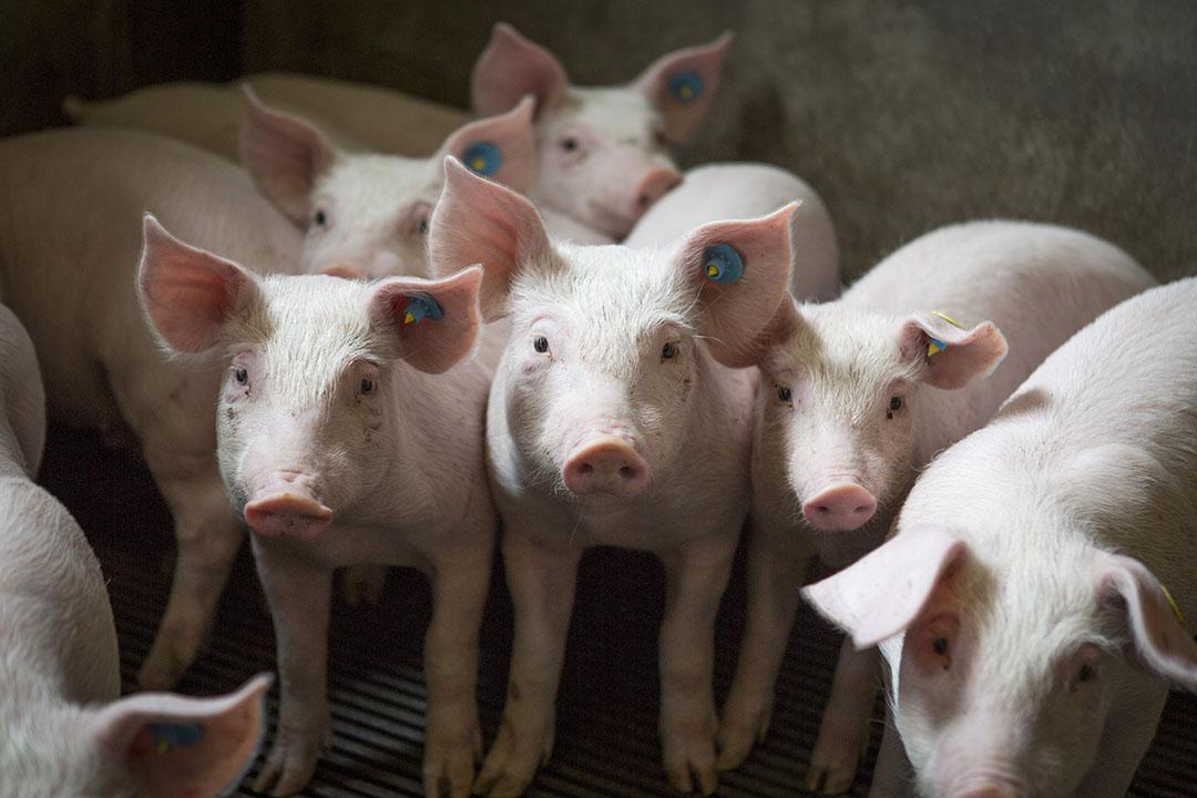 La PPA es altamente contagiosa y la infección se propaga rápidamente a través de una unidad. El aumento de la bioseguridad en las granjas puede evitar que los virus entren. Foto: Shutterstock