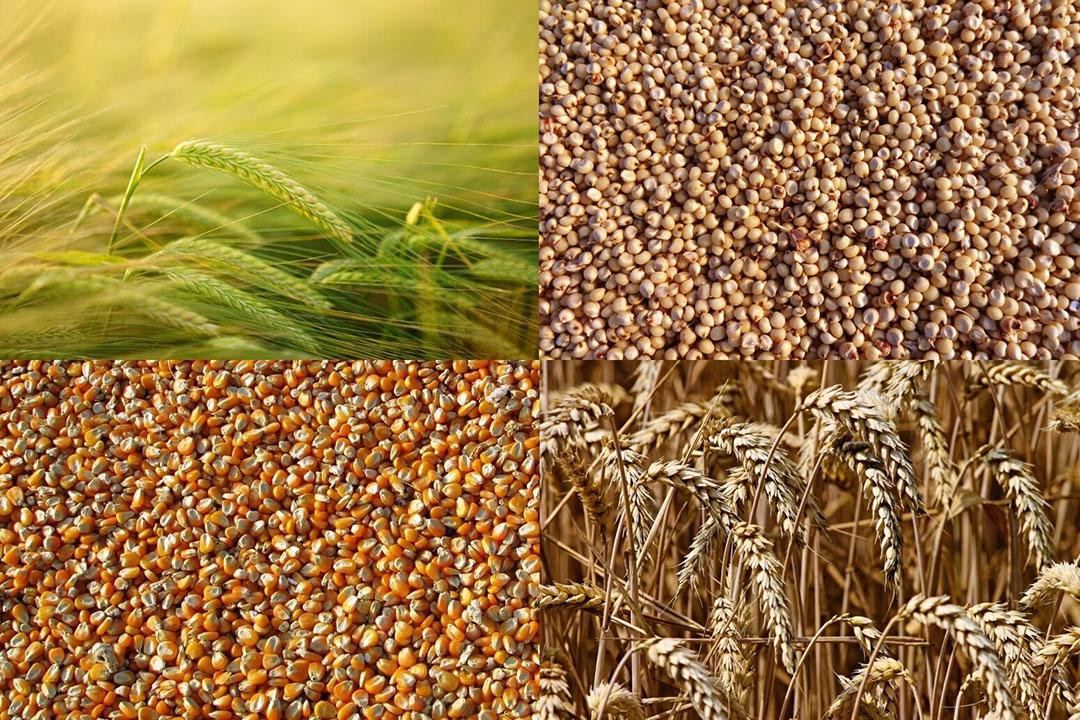 A pesar de que el maíz tiene la mejor rentabilidad proyectada entre las alternativas de cultivos de verano, se proyecta que la cosecha de maíz del año 2020/21 tendrá una tendencia a la baja Foto: Vijaya Narasimha, Manfred Richter, Hans Braxmeier
