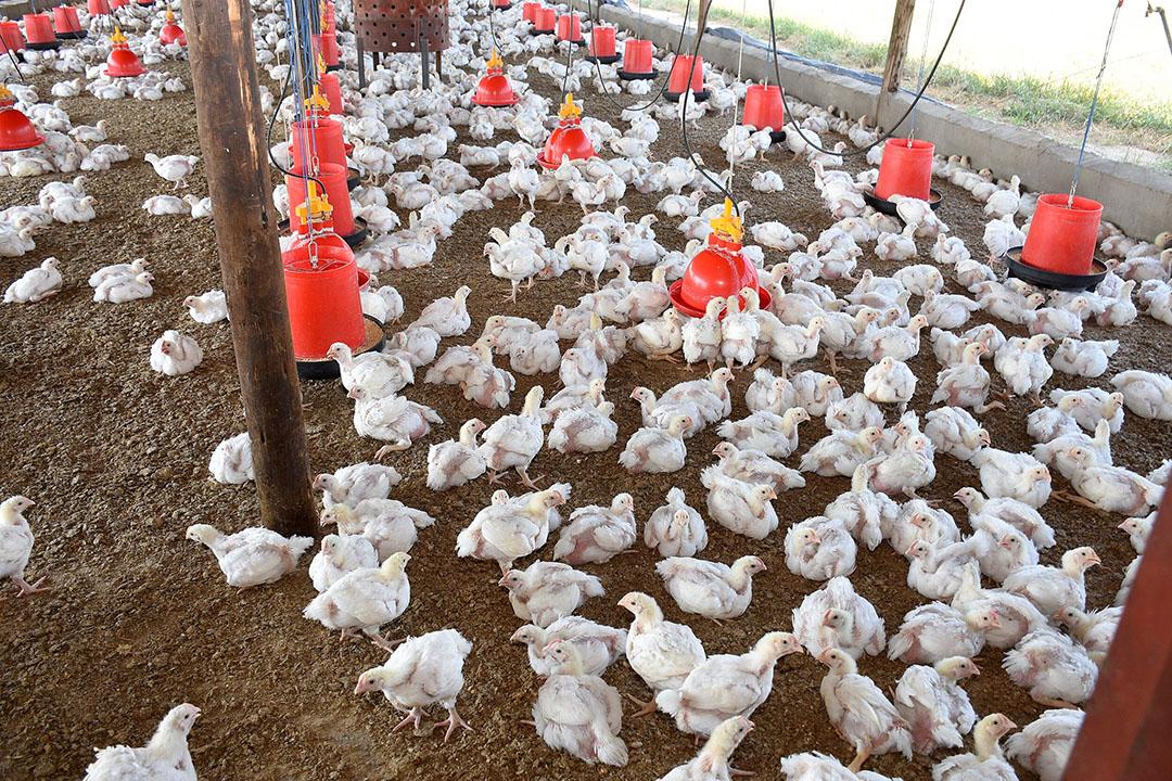 En un ensayo de alimentación a largo plazo para evaluar el efecto de dosis bajas de mezclas de micotoxinas, se supervisaron 18 parvadas consecutivas de pollos de engorde en cuanto al rendimiento y la ingesta de alimentos. Foto: Chris McCullough