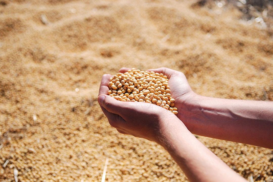 Factores como el genotipo del frijol, el tipo de suelo, las condiciones ambientales durante las temporadas de cultivo y cosecha, y el almacenamiento afectan a la composición química, la calidad de las proteínas y el valor nutritivo de la harina de soja comercial. Foto: Євген Литвиненко