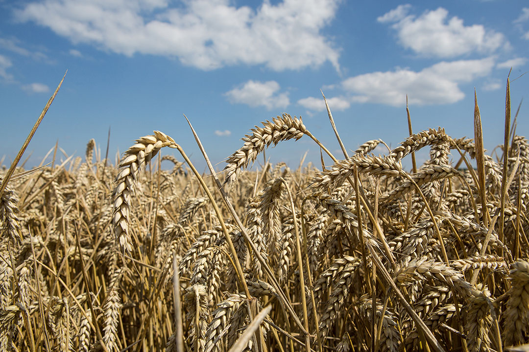 Sólo se han exportado 1,9 millones de toneladas de trigo en esta temporada. Foto: Peter J.E.Roek