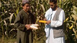 Mediante el uso de imágenes satelitales especializadas se espera que el proyecto identifique zonas adecuadas para el cultivo del maíz en el Afganistán. Foto: Chris McCullough