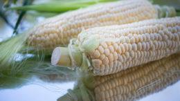 El maíz es el cultivo más importante de Zambia. Es ampliamente cultivado por los pequeños agricultores, es el alimento básico nacional y se utiliza ampliamente en el sector de la alimentación animal. Foto: Cristina Anne Costello