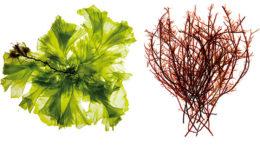 El extracto de algas rojas mejora la función de la barrera intestinal, mientras que el extracto de algas verdes modula las respuestas inmunológicas innatas y adaptativas. Foto: Olmix
