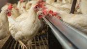 Las evaluaciones de riesgo de los alimentos caen para revelar la verdadera exposición de los animales a las micotoxinas. Hay una necesidad desesperada de tecnologías integrales con múltiples modos de acción. Foto: Peter J.E.Roek