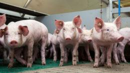 Un ensayo en cerdos que consumen una dieta suplementada con xilo-oligómeros y una xilanasa demostró una mejora en la capacidad de vida. Foto: Ruud Hissink