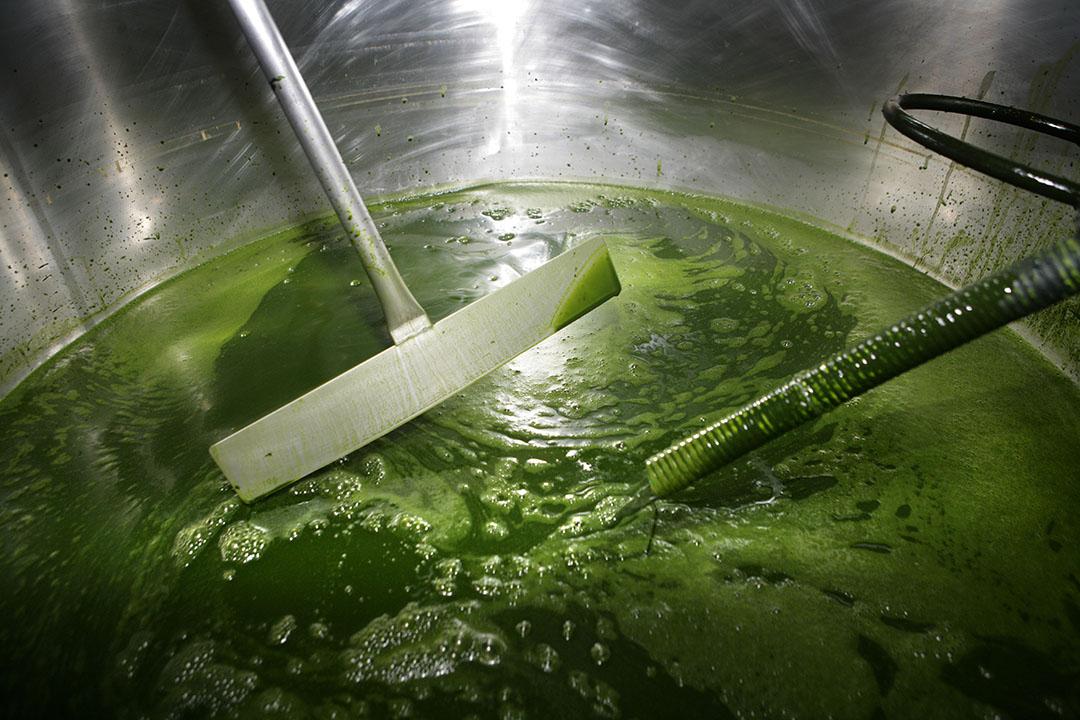 Los investigadores pretenden descubrir cómo añadir de forma eficiente productos residuales de algas a la alimentación animal en beneficio de los animales y los productos finales. Foto: Henk Riswick