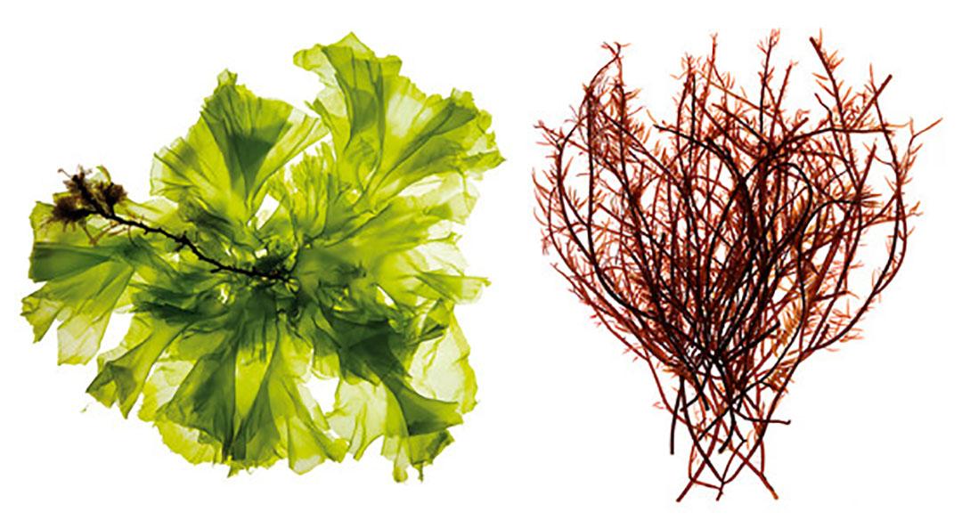 El extracto de algas verdes modula las respuestas inmunológicas mientras que el rojo mejora la función de la barrera intestinal. Foto: Olmix