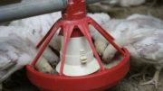 Los flujos residuales de algas no pueden ser añadidos al alimento de los pollos sin un procesamiento posterior. De lo contrario, la digestión podría ser interrumpida. Foto: Jan WIllem Schouten