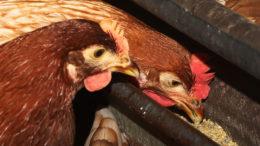 Los estudios han demostrado que las aves alimentadas con dietas con grasas rancias tenían una baja fertilidad e incubabilidad, lo que se asocia a varios trastornos de la salud. Foto: Henk Riswick