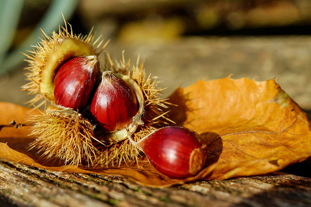Se ha estudiado el extracto de madera de castaño como fuente de ácido tánico hidrolizable para evaluar el rendimiento del crecimiento, la retención de nutrientes, la calidad de la carne, el estado antioxidante y la función inmunitaria de los pollos de engorde. Foto: Couleur