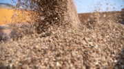 El rendimiento de los cereales es decepcionante en todo el mundo, lo que da lugar a un aumento continuo de los precios. Foto: Mark Pasveer