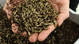 Los alimentos a base de insectos ofrecen un método prometedor para alimentar a los animales de manera sostenible y con bajo contenido de carbono. Foto: Henk Riswick