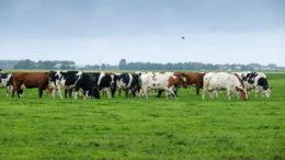 La ración anual de las vacas es de 25% de hierba fresca, 50% de hierba ensilada y el otro 25% consiste en concentrados. Foto: Jan Willem Van Vliet