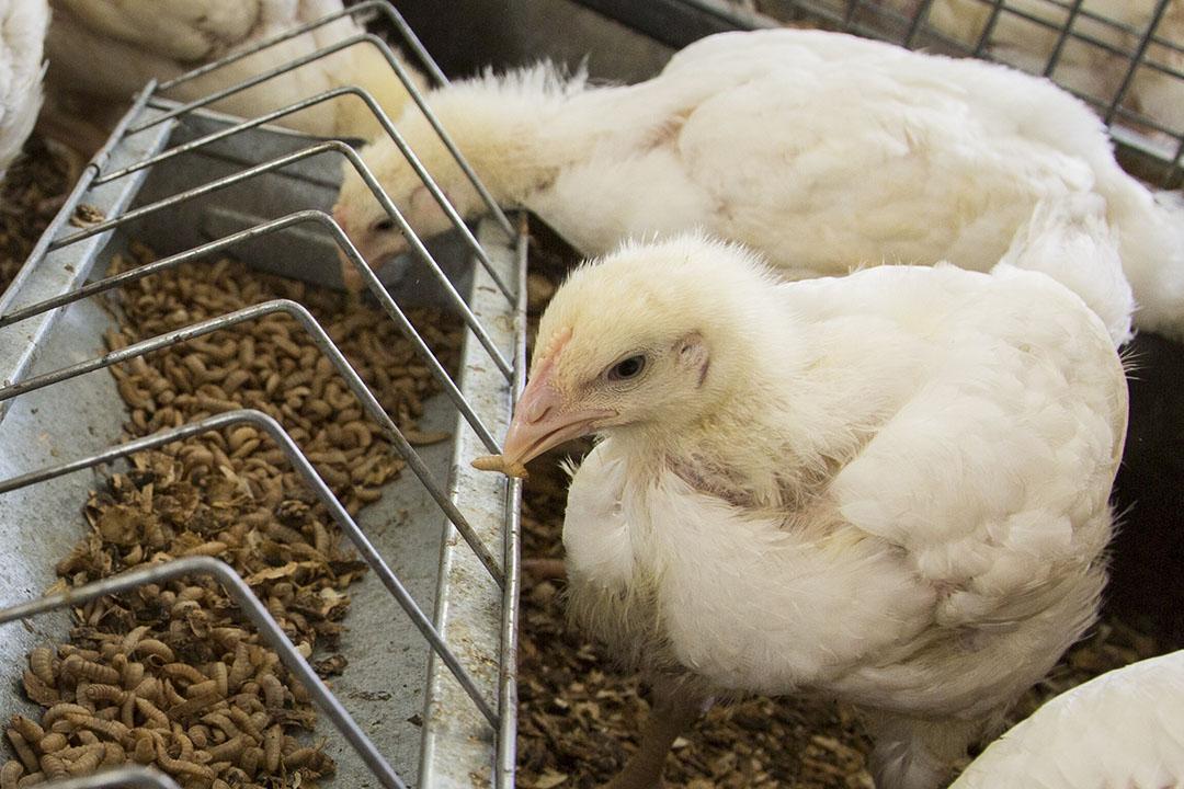 Debido a la actual legislación de la UE, sólo se puede alimentar a los animales de producción con insectos vivos. Sin embargo, no es improbable que esta legislación cambie en el futuro. Foto: Koos Groenewold