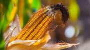 La contaminación de los granos cosechados en un solo año puede diferir de los patrones y niveles de micotoxinas de años anteriores en la misma región climática. Foto: Adisseo