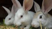 La futura expansión mundial de la cría de conejos se basará en una mejor selección de la cría, en los avances tecnológicos y en el apoyo gubernamental. Foto: Shutterstock