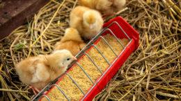 El comienzo de la vida de un polluelo está lleno de desafíos que pueden ser fisiológicos o de comportamiento. Foto: Shutterstock