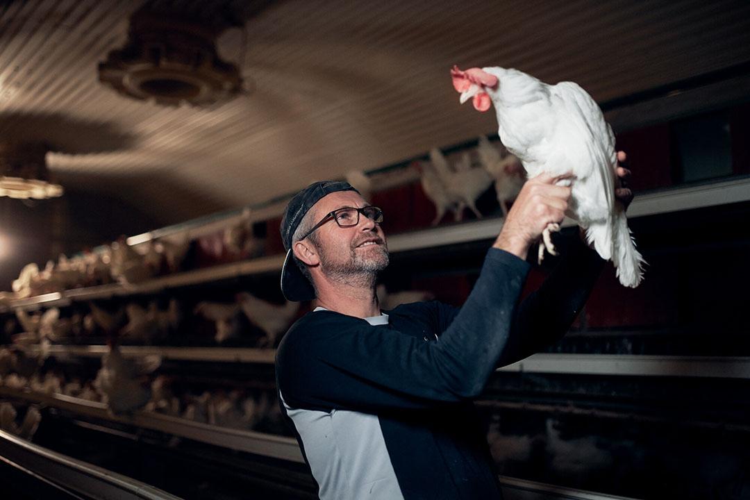 La reducción de la incidencia y el impacto de enfermedades como la coccidiosis es decisiva para cumplir las normas de bienestar animal y evitar trastornos económicos y de sostenibilidad. Foto: Morten Larsen