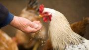 La magnitud de la reducción de la proteína bruta en las aves de corral es mucho menor en comparación con los cerdos. Foto: Oleksandr Pidvalnyi