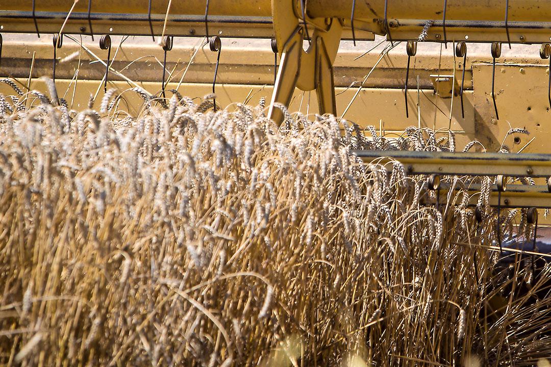 El trigo tiene una oferta decreciente en el mercado físico. Foto: Peter J.E. Roek