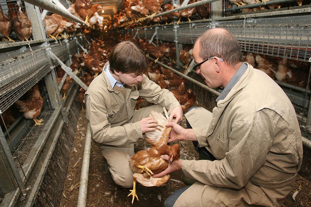 Parece que la exposición de las aves a los antibióticos se indica mejor mediante pruebas en las plumas, ya que los antimicrobianos pueden acumularse en las plumas de las aves.