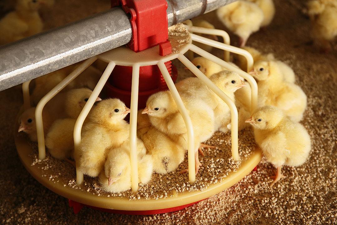 Los nanominerales en los piensos para aves de corral pueden mejorar el crecimiento de los pollos de engorde, así como impulsar el consumo de piensos y la digestibilidad. Foto: Hans Prinsen