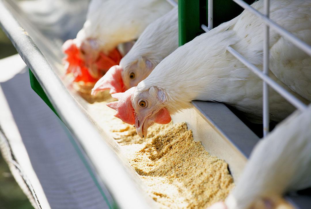 Los polifenoles dietéticos que se administraron a los pollos dieron como resultado una mejor calidad de la carne y una mayor duración de la vida útil. Foto: Ingredientes naturales de Layn