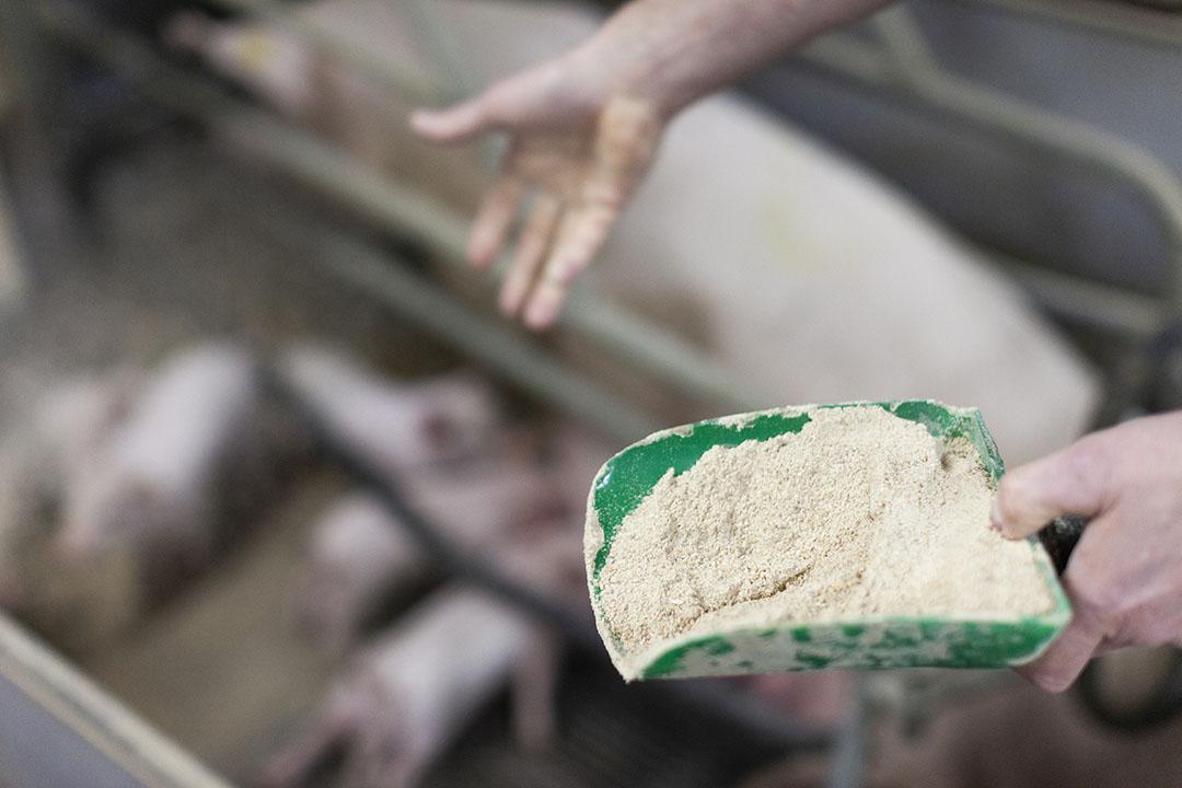 Los lechones alimentados con una dieta inicial a base de soja con un mínimo de ANF son menos vulnerables a los trastornos gastrointestinales y pueden absorber más nutrientes esenciales para un crecimiento saludable. Foto: Proteína de Hamlet