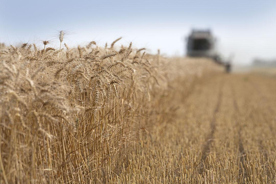 Los precios récord de los cereales podrían perjudicar el crecimiento de la industria avícola y porcina rusa y hacer que miles de explotaciones agrícolas pierdan terreno, según los analistas. Foto: Mark Pasveer