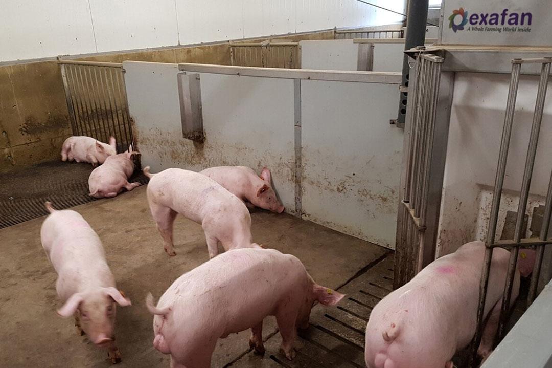 ¿Cómo alinear el alimento y la predisposición genética de los cerdos? En la investigación ganadera de Wageningen, los científicos querían encontrar una respuesta. - Foto: WUR