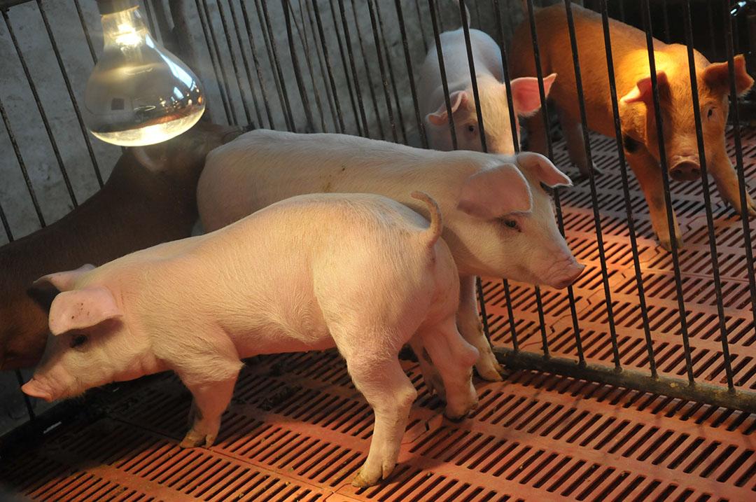 GroPro puede asegurar la salud y el crecimiento de los animales sin necesidad de usar antibióticos. Foto: Levadura de Ángel