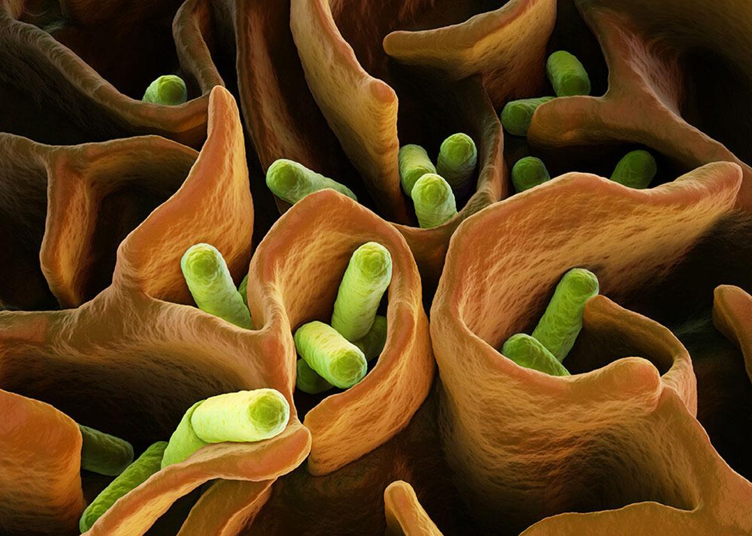 La principal fuente natural de LPS es la compleja comunidad de bacterias Gram-negativas en los intestinos. Foto: EW Nutrición