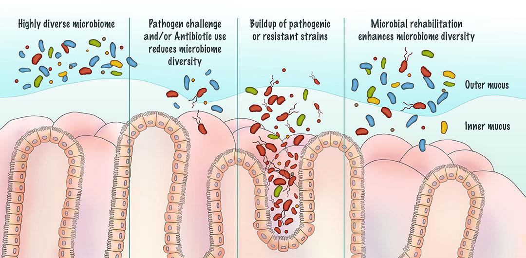 Figura 2. Ilustración de los cambios en la diversidad microbiana con el uso de antibióticos seguido de la rehabilitación.
