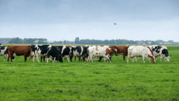 Una franja de hierba fresca dos veces al día y el pastoreo día y noche asegura una óptima ingesta de hierba para las vacas. Una franja de hierba fresca dos veces al día y pastando día y noche asegura una óptima ingesta de hierba para las vacas. Foto: Jan Willem van Vliet