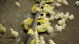 Se observó una clara mejora en la tasa de crecimiento de los pollos de engorde complementados con fruta de quimbombó con la tasa de inclusión de 3 g/kg. Foto: Jan Willem van Vliet