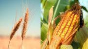 Las previsiones para las importaciones de maíz y trigo se reducen debido a la disminución de la demanda de piensos para cerdos y aves de corral. Foto: picjumbo y Couleur