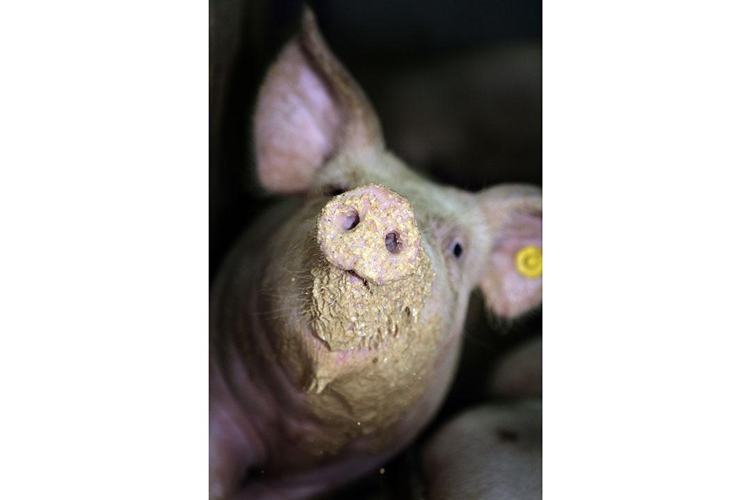 El alimento líquido para cerdos es más barato, lo que es una de las razones por las que se ha hecho popular en Europa. Foto: Henk Riswick