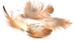 El picoteo severo da como resultado el daño de las plumas y puede conducir a la tensión, a una pobre cobertura del plumaje y a heridas. Foto: schankz