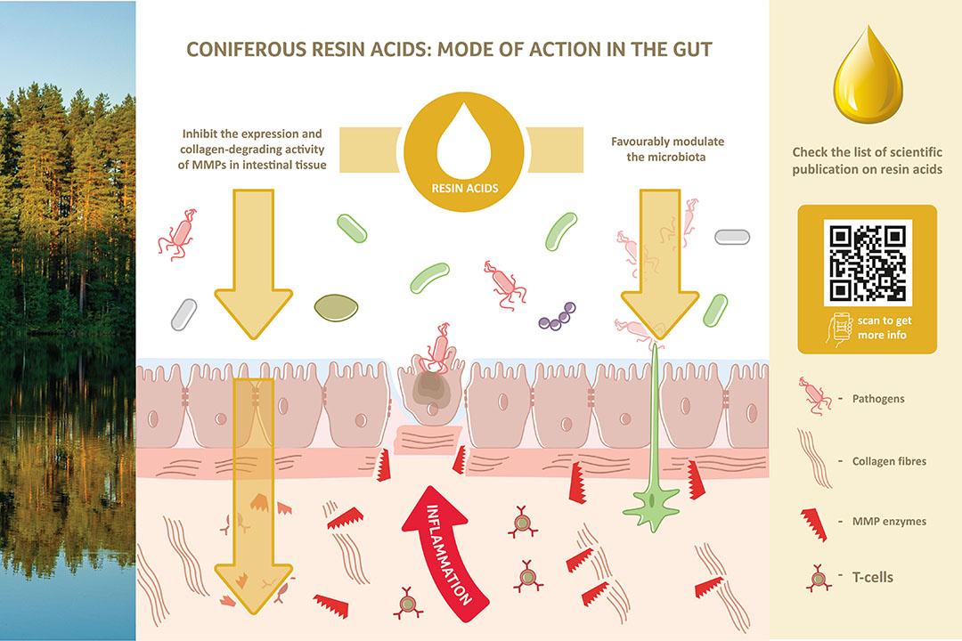 Doble función de los ácidos resínicos en el tracto intestinal: Protegen la barrera epitelial y apoyan el crecimiento de la microbiota beneficiosa. Foto: Hankkija Oy